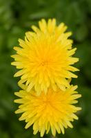 Spring dandelion Stock photo [790244] Dandelion