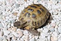 Russian tortoises Stock photo [791157] Turtle