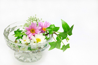 Kurisansemamu and Ivy Stock photo [791513] Chrysanthemum