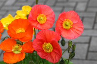 Poppy Stock photo [792565] Poppy