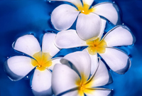 Frangipani that floated in water Stock photo [792683] Plumeria