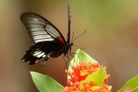 Papilio memnon female Stock photo [796834] Papilio