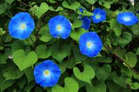 Blue morning glory Stock photo [797409] Morning