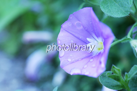 Bindweed with an water droplets Photo