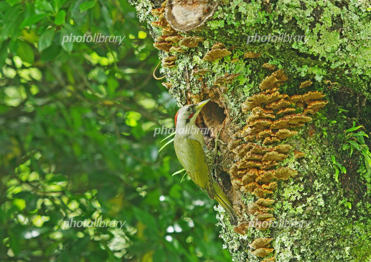 巣穴をのぞくアオゲラ。-写真素材 巣穴をのぞくアオゲラ。 画像ID 877251  巣穴をのぞく