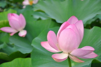 Oga lotus Stock photo [873237] Lotus