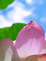 Lotus and blue sky Stock photo [873788] Lotus