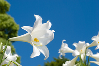 Community and blue sky of Easter lily Stock photo [875457] Easter