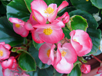 Begonia Sen pa Florence Stock photo [878333] Begonia