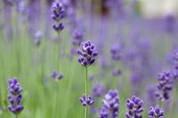 Lavender Stock photo [881275] Lavender