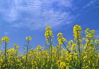 Rape flowers and a blue sky Stock photo [948188] Rape