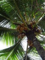 Tree of Saipan Managaha Island palm Stock photo [949316] America