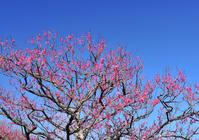 Plum and blue sky Stock photo [949880] Plum