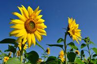 Sunflower Stock photo [952396] Sunflower