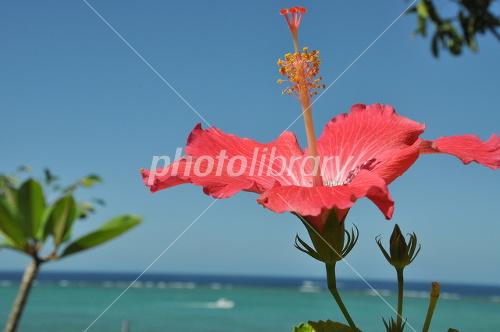 Hibiscus and the sea Photo