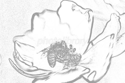 蜜蜂と秋桜塗り絵用 イラスト素材 1071351 フォトライブラリー
