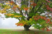 Large maple in fog Stock photo [1059881] Autumn