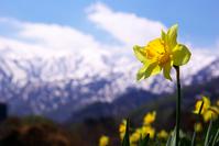 Daffodil Stock photo [1062033] Daffodil