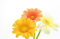 Gerbera Stock photo [1062206] Gerbera