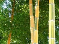KimuAkira bamboo Stock photo [1063571] Moso