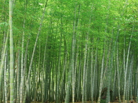 Bamboo forest Stock photo [1063859] Bamboo