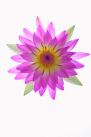 Lotus Flower Stock photo [1067941] Lotus
