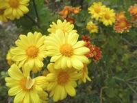 Kogiku Stock photo [1069039] Kogiku