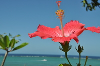 Hibiscus and the sea Stock photo [1070057] Hibiscus