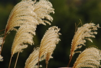 Japanese pampas grass Stock photo [1070130] Japanese