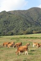 Hiruzen Jersey cow Stock photo [1070497] Hiruzen