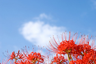 Cluster amaryllis flowers and sky Stock photo [1071943] Cluster