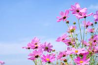 Cosmos flower garden and sky Stock photo [1071961] Autumn