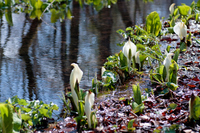 Skunk cabbage and Ogawa horizontal Stock photo [1164605] Water