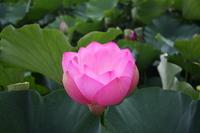Lotus Flower Stock photo [1166535] Flower