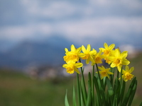 Narcissus and Takasakiyama Stock photo [1167783] Narcissus