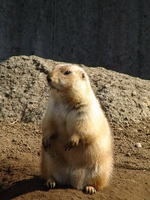 Prairie dogs of Australia Stock photo [1169211] Australia