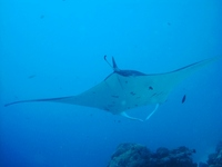 Manta ray Stock photo [1169673] Manta
