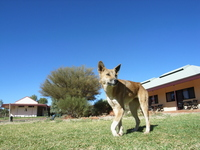 Australian animal dingo Stock photo [1173105] Australia