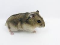 Djungarian Hamster Stock photo [1176204] Hamster