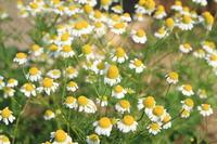 German chamomile Stock photo [1265043] Chamomile