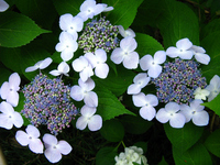 Shooting from the light blue of Hydrangea Stock photo [1265095] Near
