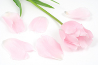 Pink tulip flowers and petals Stock photo [1266169] Tulip