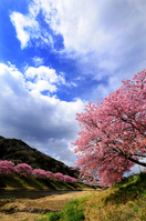 Sakura bloom Minamiizu landscape of Stock photo [1266738] Kawazu