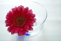Gerbera and glass bowl of Stock photo [1266810] Gerbera