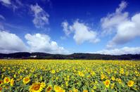 Sunflower Stock photo [1267758] Sunflower