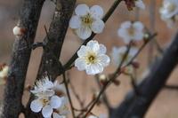 White plum Stock photo [1268184] White