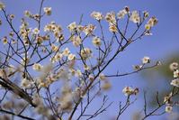 Shirakawa Gion white plum Stock photo [1270179] Shidare
