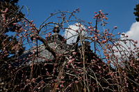 Flowers and blue sky of pink plum Jōchi-ji Stock photo [1270343] Pink