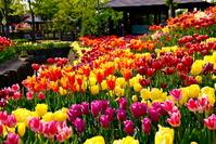 Tulip Stock photo [1273060] Tulip