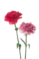 Carnation Mother's Day Stock photo [1273068] Carnation